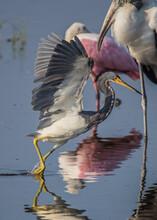 Little Blue Heron Fishings