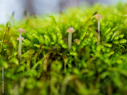 Photo Mushrooms growing on moss macro close up