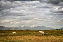 Connemara-Ponys Auf Einer Weide In Connemara, Irland