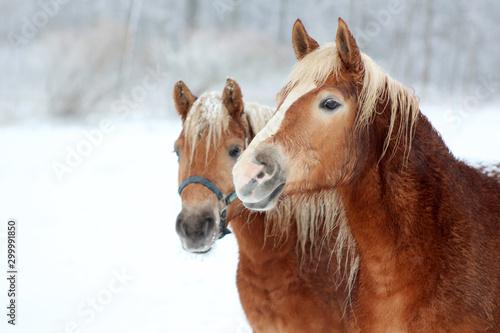 Obraz Portret konia w zimie - fototapety do salonu
