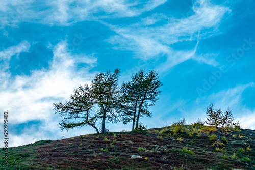 Silhouettes of two lonely windswept mountain pine trees against a blue sky on a Fototapeta