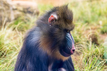Mandrill In The Zoo On A Summe...