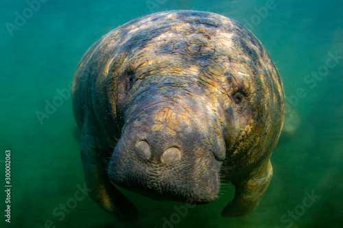 Fotomural  Curious West Indian Manatee enjoying the warm spring water during a cold snap in Crystal River, Florida (USA)