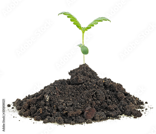 Photo Cannabis sprout grows from the soil, white background.