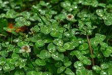 Clovers Whit Flowers And Raindrops
