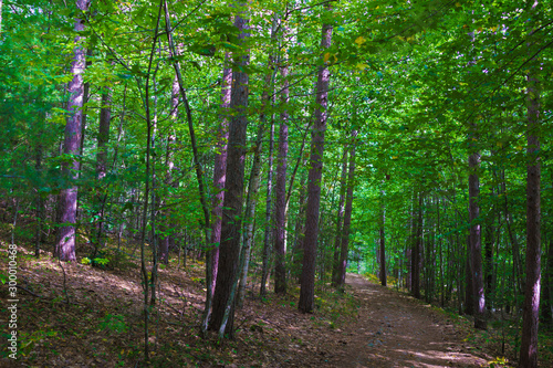 Dense summer forest in Maine with green leaves