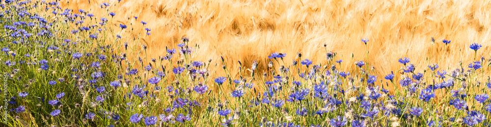 Fototapeta Randstreifen - Kornblumen an einen Getreidefeld