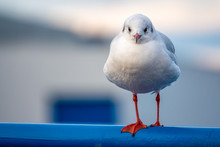 A Close-up Of A Seagull Standi...
