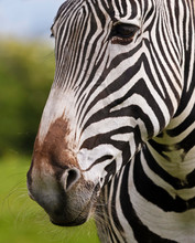 A Close Up Of A Zebra Face And...