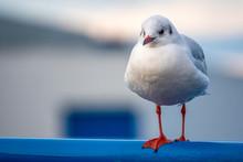 A Close-up Of A Seagull Standi...