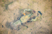 Top View Of A Crayfish In Shallow Water