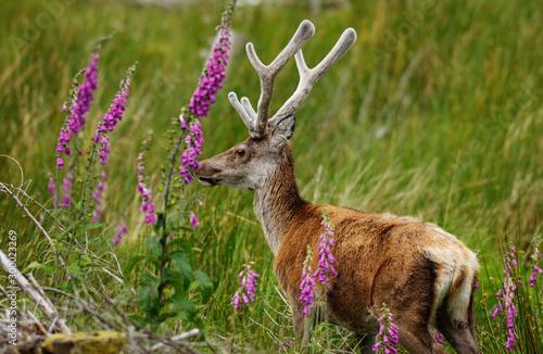 Tela  Red Deer Scotland 2002