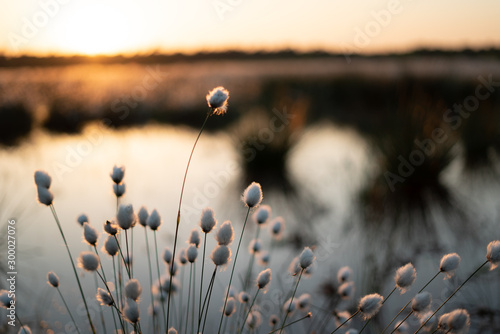 Fotografiet Sumpfgewächs - Wollgras im Moor