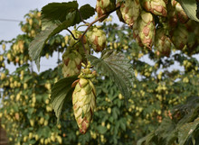 A Hops Cone Left Waiting Too Long To Be Harvested, With Bracts Turning Brown