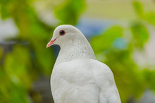 Beautiful White Dove On A Green Blurred Background.Soft Focus, Selected Focus