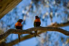 Australian Lorikeets Parrots