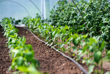 Close Up Of Organic Pepper Pla...