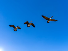 Three Canada Geese Flying In A Vibrant Blue Sky With Copy Space
