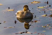 Brown Mallard Duck Reflection ...
