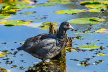 American Coot Duck Juanita Bay Park Lake Washington Kirkland