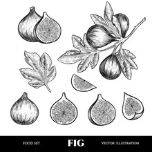 Vector Figs Hand Drawn Sketch. Sketch Vector  Food Illustration. Vintage Style
