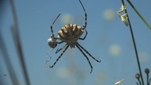 Spider Argiope Lobata Sits On Web With His Victim Against Blue Sky, Staggering In Summer Wind. Macro View