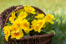 Blossoming Yellow Primrose In ...