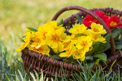 Photo Blossoming primrose in a basket
