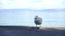 Close Up Of Seagull Eating Mus...