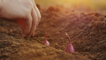 Planting Seeding Onions In Organic Vegetable Garden, Close-up Of Woman's Hand Planting Red Onions In The Ground