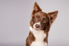 Pretty Red And White Border Collie Dog