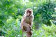 canvas print picture - Portrait of macaque monkey