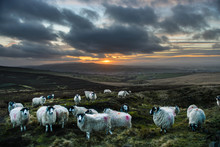Flock Of Sheep On Hilltop Overlooking North Yorkshire