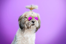 Shih Tzu Dog Cute Hairstyle Po...