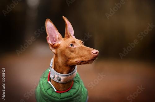 Obraz na płótnie cirneco dell etna dog beautiful autumn portrait walk in the park magic light