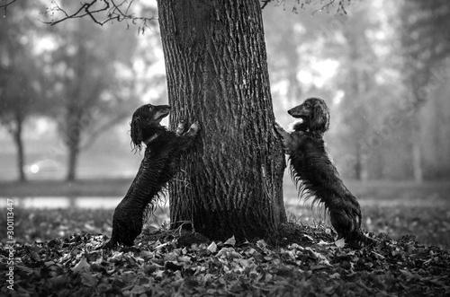 Foto auf Leinwand Weiß dachshund dog lovely autumn portrait walk in the park magic light