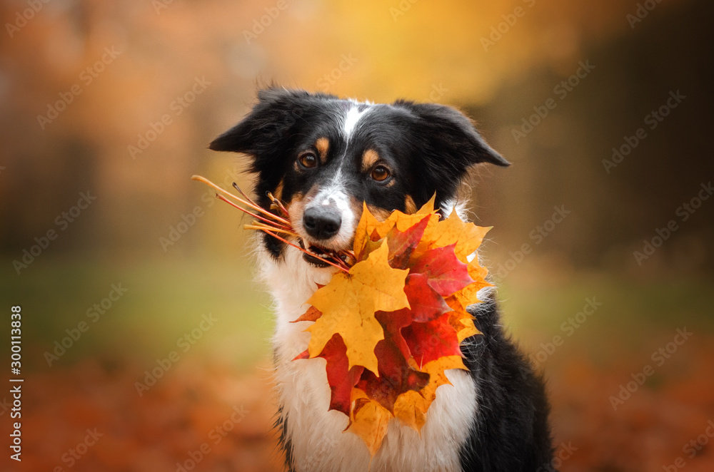 Fototapeta border collie dog funny walk in autumn park yellow color beautiful portrait