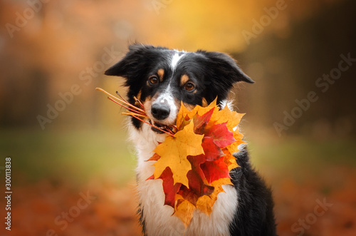 Cuadros en Lienzo  border collie dog funny walk in autumn park yellow color beautiful portrait