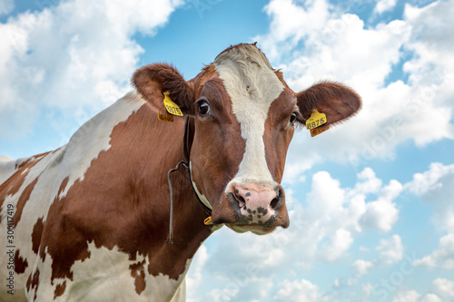 Canvas Prints Cow Head of a red-and-white cow looking curious, the background a beautifully cloudy sky.