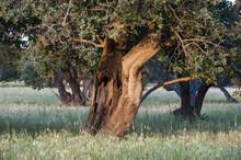 Carob Trees In Sicilian Landsc...