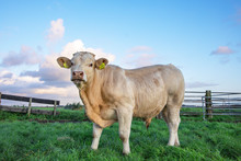 Beef Bull, White, Blonde D'aquitaine, Stands On A Meadow, Next To A Gate Total Shot.