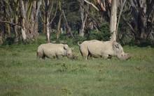 Two African White Rhinos Eating In Line, Nakuru, Kenya