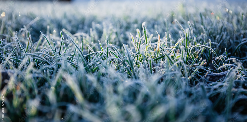 Fototapety, obrazy: Morning dew froze on a green grass lawn and turned it into a white blanket