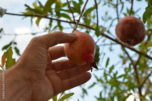 hand picking a ripe pomegranate Fototapeta