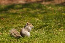 Eastern Gray Squirrel, Animal ...