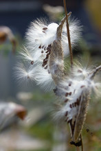 Fluffy Flying White Seeds Of The Asclepias Syriaca (milkweed) In Autumn