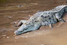 American Crocodile (Crocodylus...