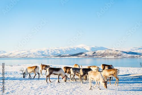 Reindeer in Northern Norway Fototapet