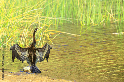 Fotografie, Tablou  Australian darter drying its wings on shores of Glen Helen Gorge at permanent waterhole on Finke River, important refuge waterbirds
