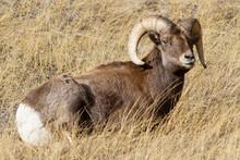 Mammals Of Colorado. Colorado Rocky Mountain Bighorn Sheep